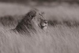 HTI-Living Glasbild »Löwe«